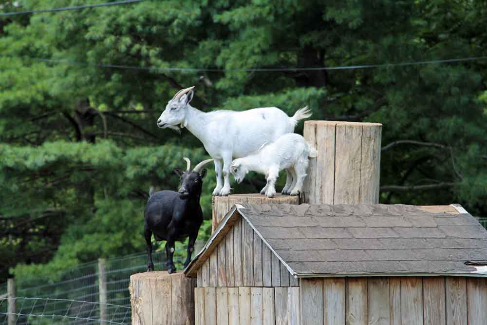 Amish country lodging baby goats