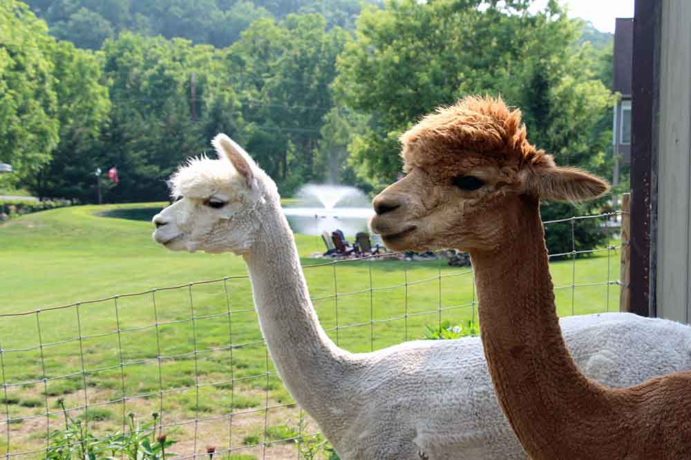 Llamas at our Lancaster Bed and Breakfast